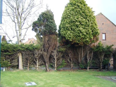 Conifers don't regrow!