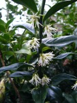sarcococca flowers (2)