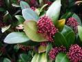 Skimmia flowers