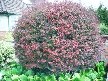 berberis shrub