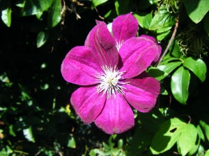 clematis rouge flower (2)