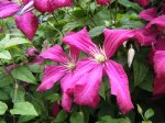 clematis rouge flower