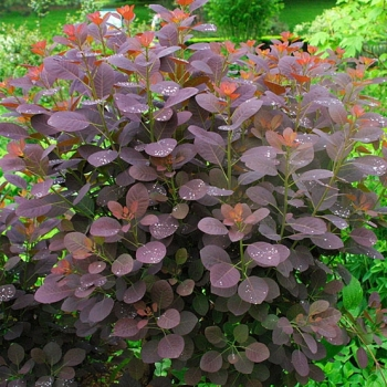 cotinus coggryia royal purple