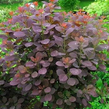 cotinus coggryia royal purple