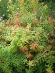 Euphorbia Griffithii Fireglow