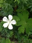 Geranium phaem album flower