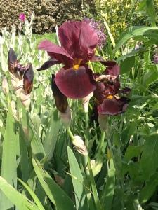 Iris bearded purple (1)