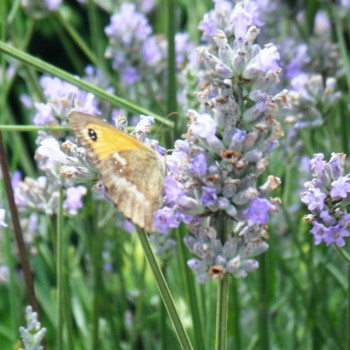 lavender and bees (2)