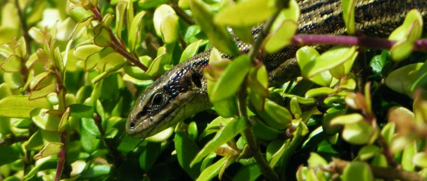 lizard 2 crop