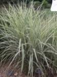 Miscanthus sinensis Rigoletto