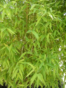 phyllostachys yellow (4)