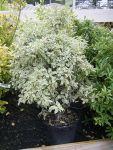 Pittosporum argyrophyllum