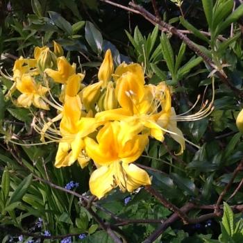rhodo luteum flower