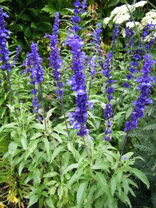 Salvia Blue Queen