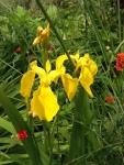 Iris yellow (1)