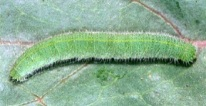 cabbage white caterpilars