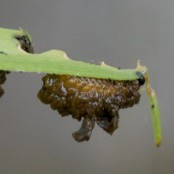 lily beelte larvae and its poo!