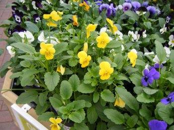 viola yellow
